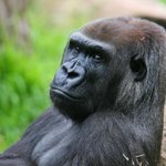 Vale Melbourne Zoos female gorilla Julia who died overnight from injuries inflicted by a young Silverback male. http://t.co/L1IYAIFZ2t