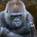 Melbourne Zoos gorilla Julia has died after being attacked by another gorilla http://t.co/zWs4YuKccV @theheraldsun http://t.co/eMl884Wrki