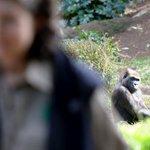 Melbourne Zoos gorilla Julia dies after attack http://t.co/bMVfdZdtig http://t.co/lJI7IKqxNN
