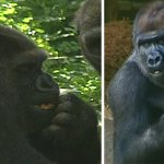 .@ZoosVictoria staff devastated after the death of one of their oldest female gorillas. @SebCostello9 in #9NewsAt6 http://t.co/t2aSS07nm9
