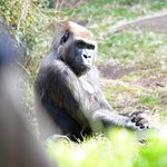 .@MelbourneZoos gorilla Julia dies after an attack by a young male gorilla. http://t.co/Hmq8yADgQI http://t.co/Hx2Ok8BTuj
