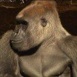 Killer gorilla: Deadly fight at Melbourne Zoo @MelinaSarris7 reports http://t.co/JfCH1JglkT http://t.co/MiYLsoA91N