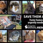 URGENT need for foster homes to save 11 rabbits 4 guinea pigs plus babies! PM if you can help and please RT! #ygk http://t.co/ZtX4Mewpul