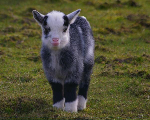 I WANT A BABY GOAT