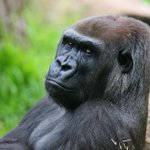 ICYMI: Female gorilla Julia killed at @MelbourneZoo by male in show of unexpected aggression http://t.co/HcvzbCc6en http://t.co/NnjJnTBABE