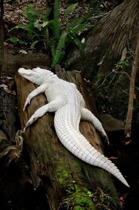 White alligator is one of rarest in world with only 12 of its kind.These are not albino animals, they are Leucistic. http://t.co/sTKMDEZiPv