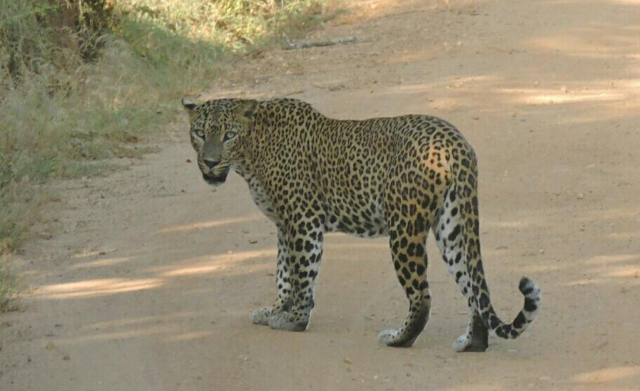 Was so lucky to witness a not only a single leopard but three of them crossing the road. #yala http://t.co/AG08OprFiK
