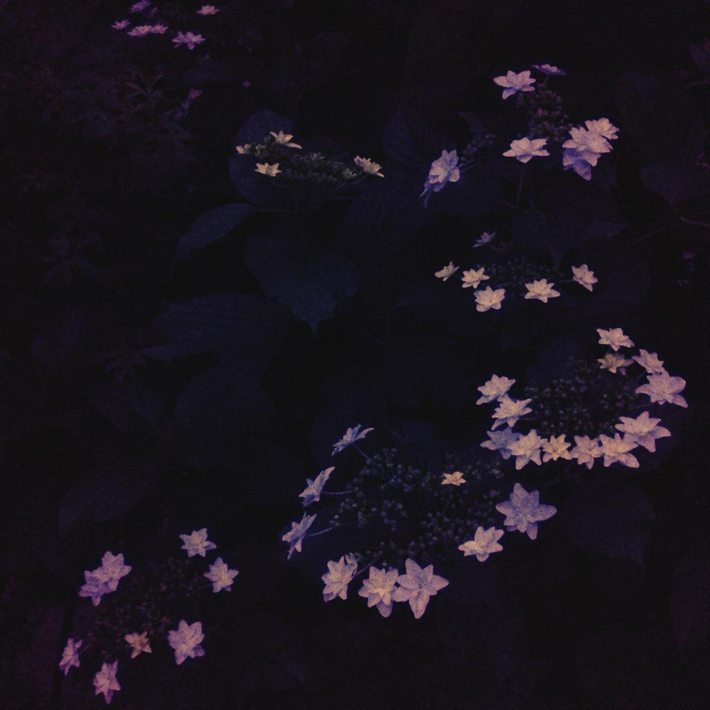 夜のあじさいは、星の輪っか。 http://t.co/vqWqm6nwLn