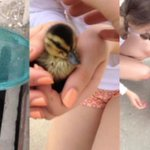 Ducklings rescued from storm sewer with hockey stick. A very Canadian act of kindness http://t.co/MjBUbRwYPk http://t.co/vs3t78GXH8