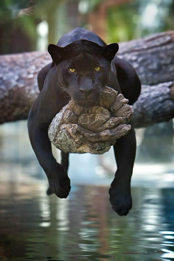 How a black jaguar chills. http://t.co/1iLxq7UPoz