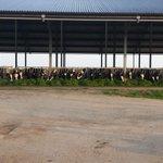 En onze koeien hebben net als vele anderen geen daglicht te kort! #zembla #indoorweidegang http://t.co/Z4sPRQZJJY