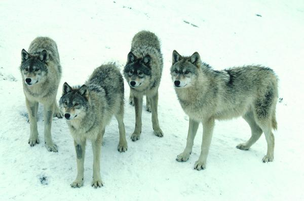 Social tolerance often cited as reason to hunt wolves; research indicates the opposite. http://t.co/3c4dS4NbTR http://t.co/UAIceQjiPP