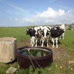 Ter herinnering: koeien die koeien mogen zijn, op een stukje natuur van @ZeeuwsLand #zembla http://t.co/VuaAZsps9s