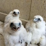 #CaptionThis: These Peregrine #Falcons were born on top of the US Bank building in La Crosse. #wkbtnews8 http://t.co/vTUbscyX4W