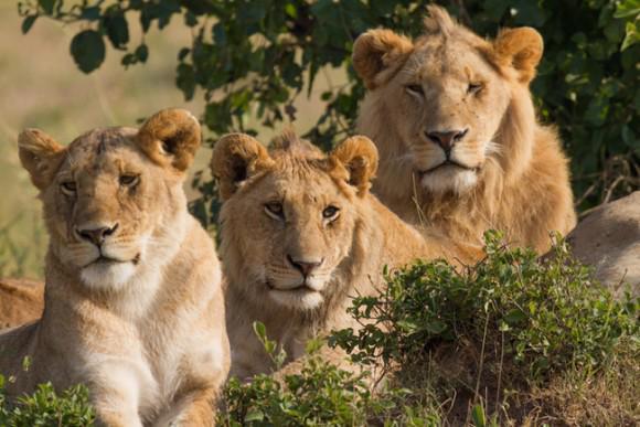 村からさらわれた12歳のエチオピア人少女を誘拐犯から救い出したのはライオンたちであった。  人間にとって真のヒーローとは