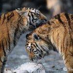 WWF: борьба с браконьерами привела к росту популяции тигров http://t.co/SAtZAa8OdW http://t.co/uWZKw6tbJl