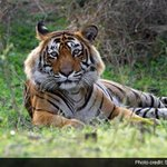 A Tiger named Ustad divides India. This is his story. http://t.co/XG31I37Jm7 http://t.co/sQmuGMwVPz