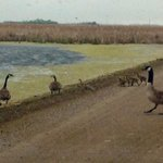 Waddle waddle! Some little goslings following their parents to safety. #yxe #spring #canadiangeese #goslings #baby http://t.co/X1NMcca32Q