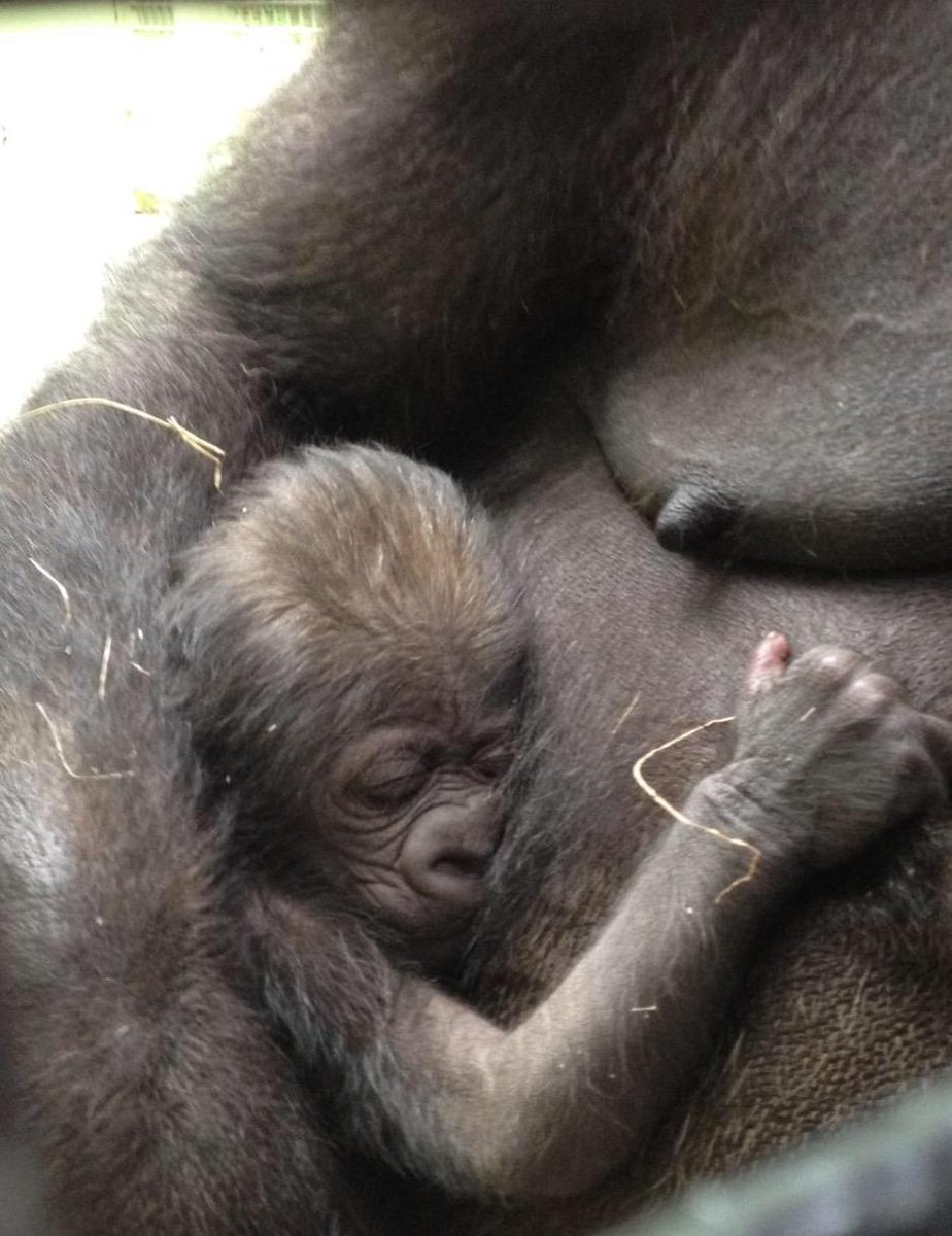 Welcome Baby!!  Hope Gorilla gave birth this morning & so far, all is well! Stay tuned for more updates & news! http://t.co/qjcsBljVcx