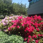 """Rhododendrons outside my office. """"Its all so beautiful"""" #mytru http://t.co/GBuQlzPyKl"""