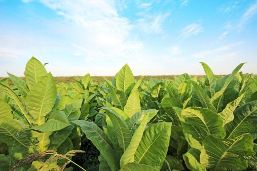 Tobacco kills an estimated 6 million persons worldwide. World No #Tobacco Day is May 31.  http://t.co/OKeUZnDOzG http://t.co/Y56gDRmhFV