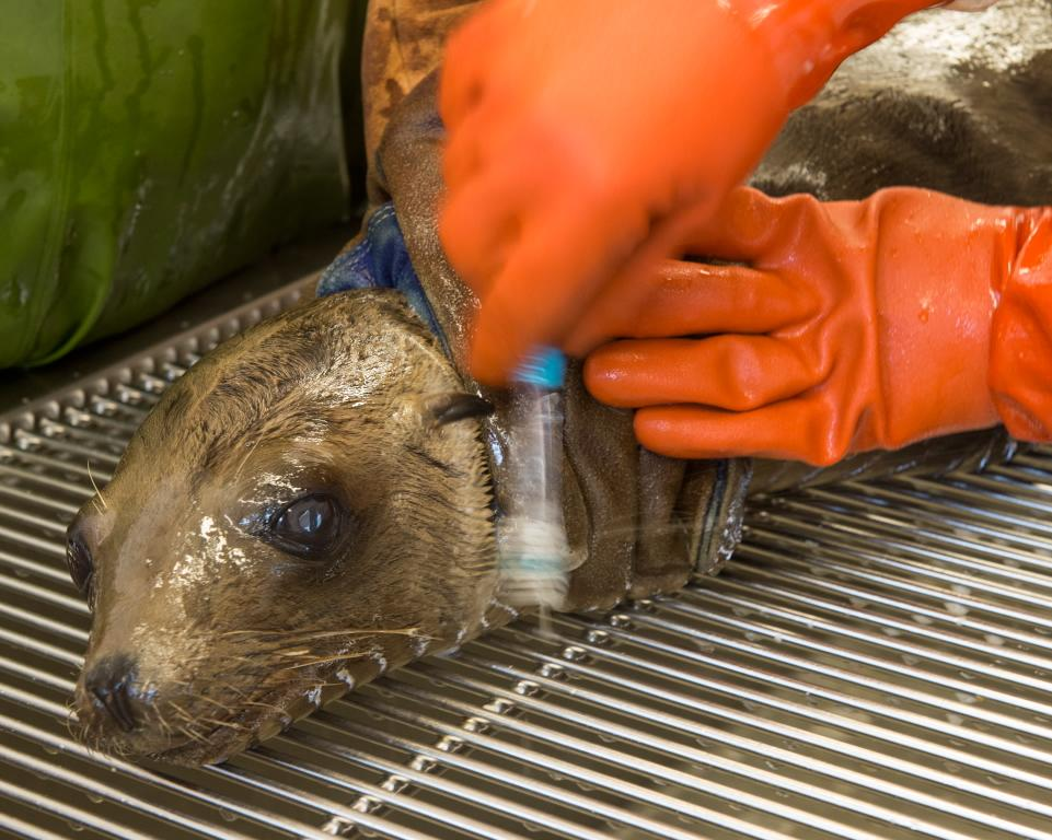 Oil spill update @SeaWorldRescue now has 21 oiled seals/sea lions being treated- as well the recovering starving pups http://t.co/RJdxASgmNI