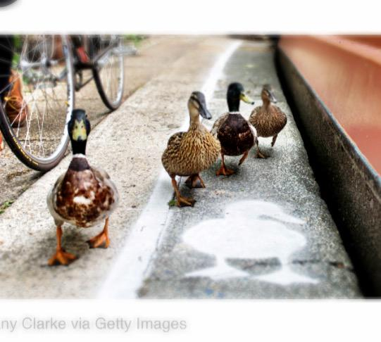 Walking lanes for ducks in England.