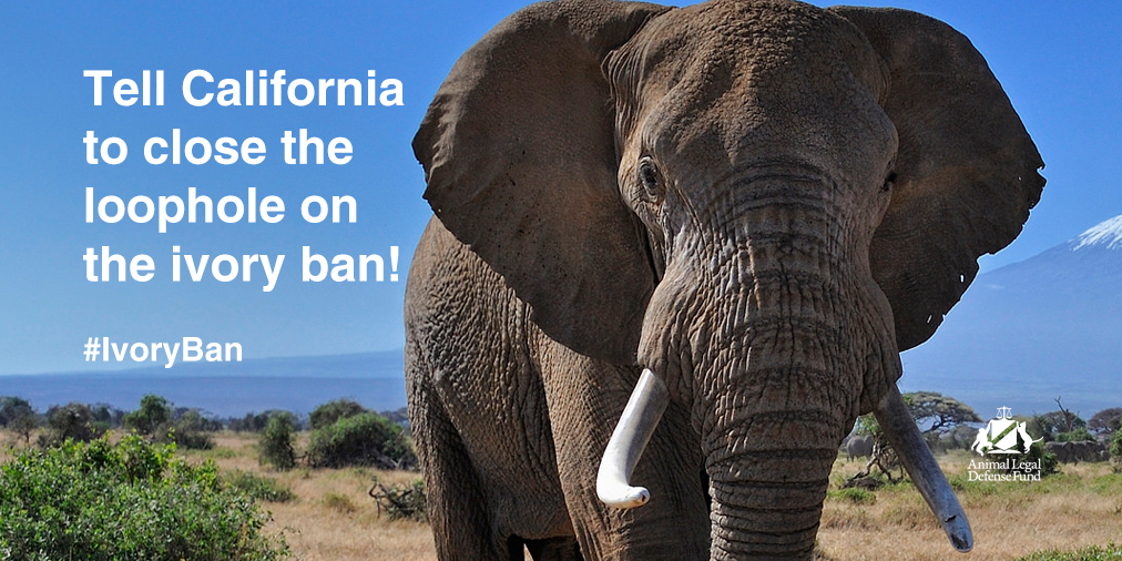 RT @ALDF: Californians! Take action to close the loophole on the #IvoryBan! http://t.co/OMJV4iDmAN http://t.co/o80if77CLn