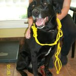Black lab found by craftworks hwy#7 Peterborough Ontario 705-745-4800 http://t.co/sa6lUXUSSC