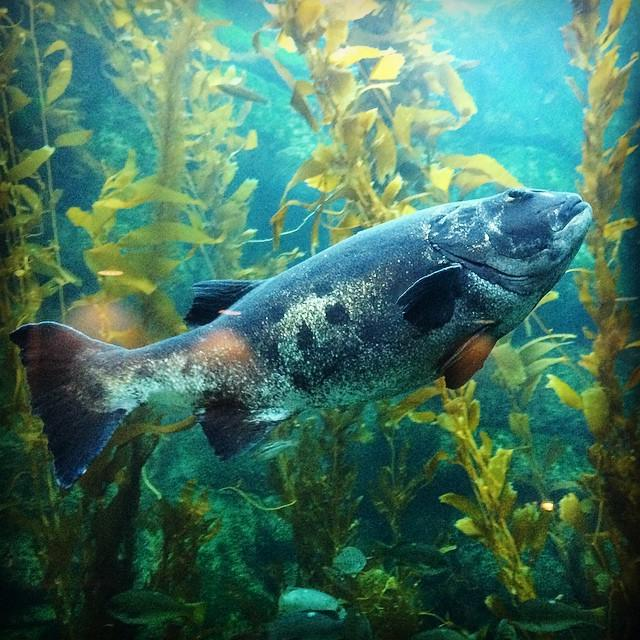 Giant Sea Bass are huge, curious, and critically endangered. The largest officially report… http://t.co/VPvujC1l9v http://t.co/4u43walsLE
