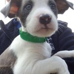 Gatsby, Harper & Scout are #Staffie cross Whippet #puppies who need homes http://t.co/Y5DQpq66bj #FridayFeeling http://t.co/C8jgkZ5KXj