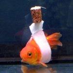 【ナイスアイデア】うまく泳げない金魚に「車イス」を作ってみた http://t.co/H0DiRuIUbg まるで包帯を巻いたような金魚。これは逆さまに浮かんでしまう金魚のために、装着しているのだそうです。 http://t.co/t4EGjvaQlf
