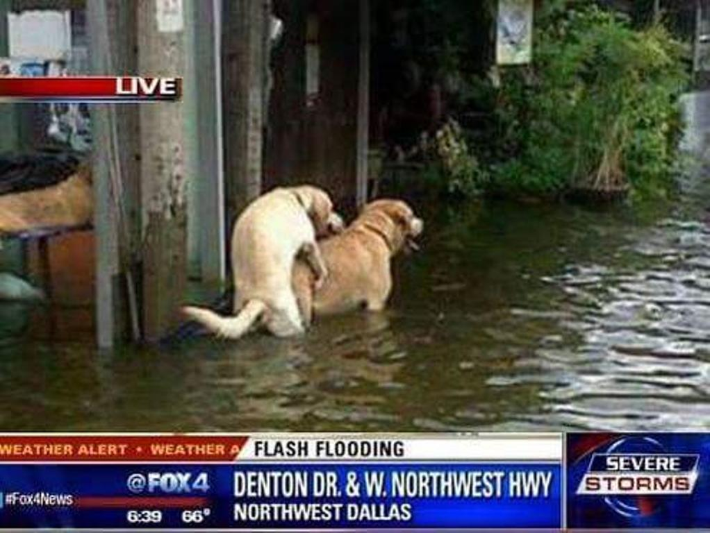 Hardcore journalism--Fox 4 shows us how certain animals are dealing with the flooding: http://t.co/k8uJ5E50tJ