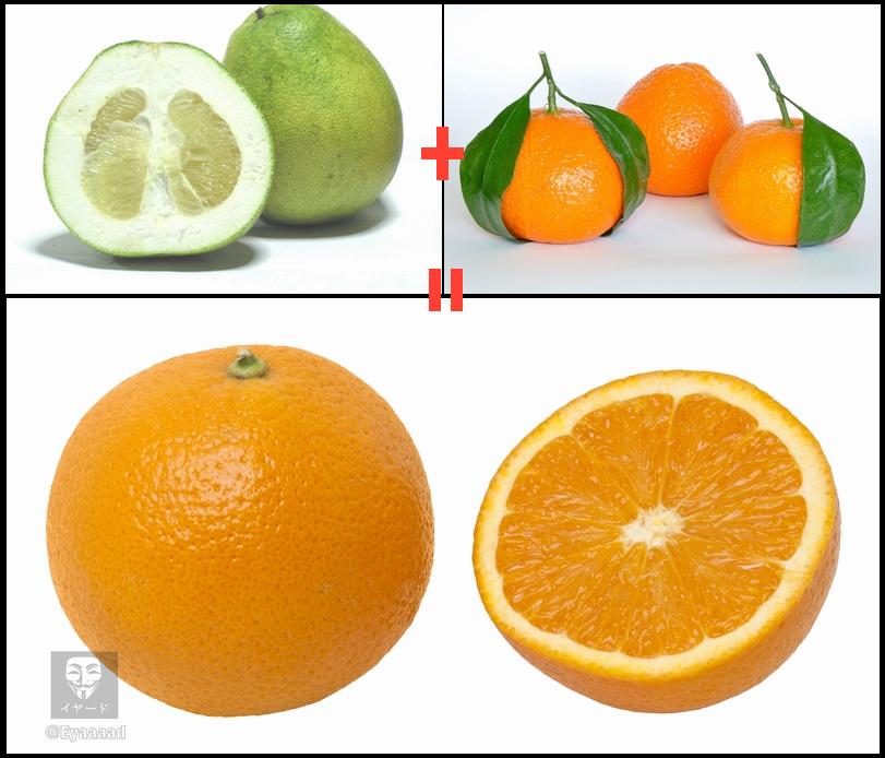 البرتقال ليست فاكهة اصلية بل هجينة 25% منها فاكهة باميلو 75% منها فاكهة اليوسفي  اتت نتيجة تلاقح بينهما http://t.co/buBEoi1NnG