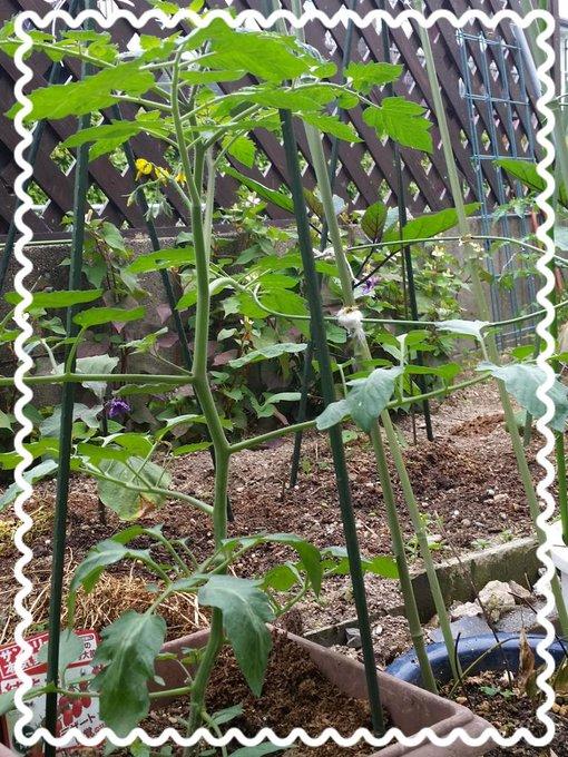 自宅では育てられないので、チング宅のお庭で育ててもらってるトマトに花が咲いたみたい(*^^*) トマト好きな私のために、たくさん実をつけて下さいね~(笑) http://t.co/ANQSdlixnV