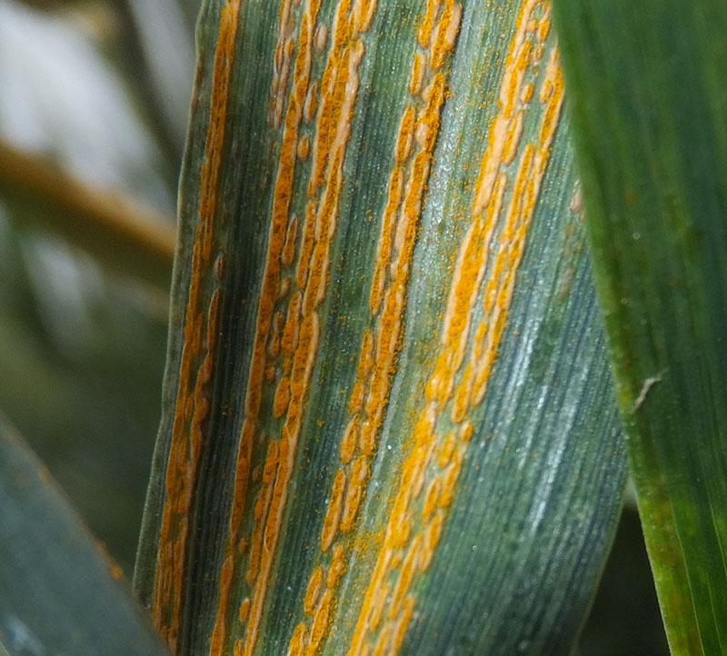 Leaf rust, stripe rust, soil born mosaic, oh my. This week's update on Kansas' #wheat15 crop: http://t.co/3HlcXinZKN http://t.co/v2gFbchl0n