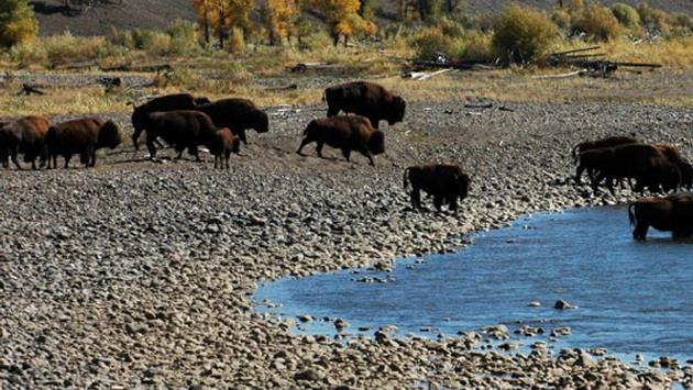 Tourist Attacked by Bison at Yellowstone National Park