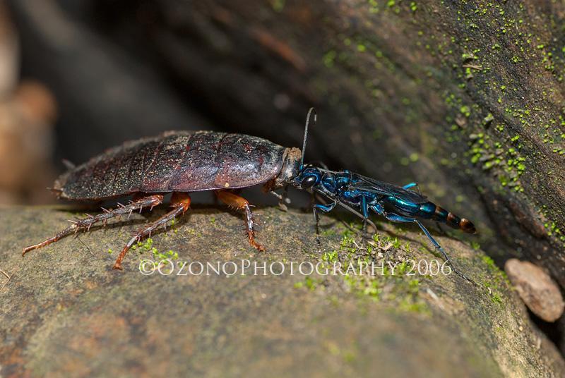 古い写真ですが、西表島で撮影したセナガアナバチの一種。このハチはゴキブリの特定の神経節を毒針で刺して逃げないようにし、その触角を咥えまるで犬の散歩のように歩く。ゾンビ化したゴキブリは操られるがまま自らの足でハチの巣穴へ…異様な光景。 http://t.co/RMWeaD98vy