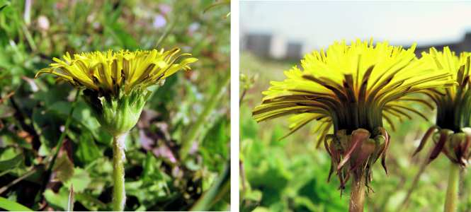 春の風景: 雑種タンポポの謎 (農業と環境120号) http://t.co/38o4rnlOcV 花の形からセイヨウタンポポとされてきた個体の大半は、在来種と外来種の雑種タンポポでした。 http://t.co/n26QsI0MSx