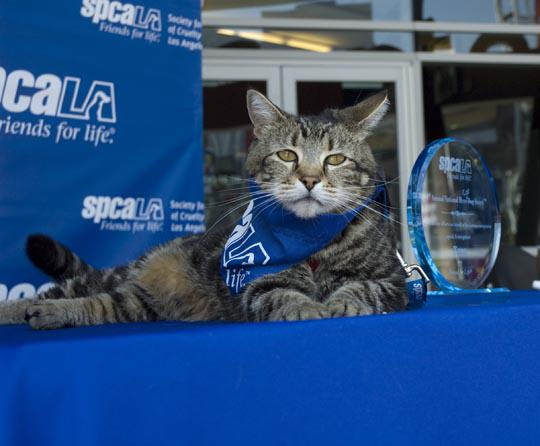 spcaLA's 33rd National Hero Dog Award™ winner is... A CAT! http://t.co/xbre9zcpVs @taraherocat http://t.co/njB3Gbfstw