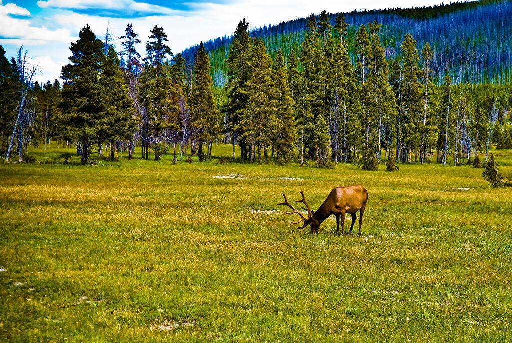 Photo guide to the incredible wildlife of Yellowstone National Park