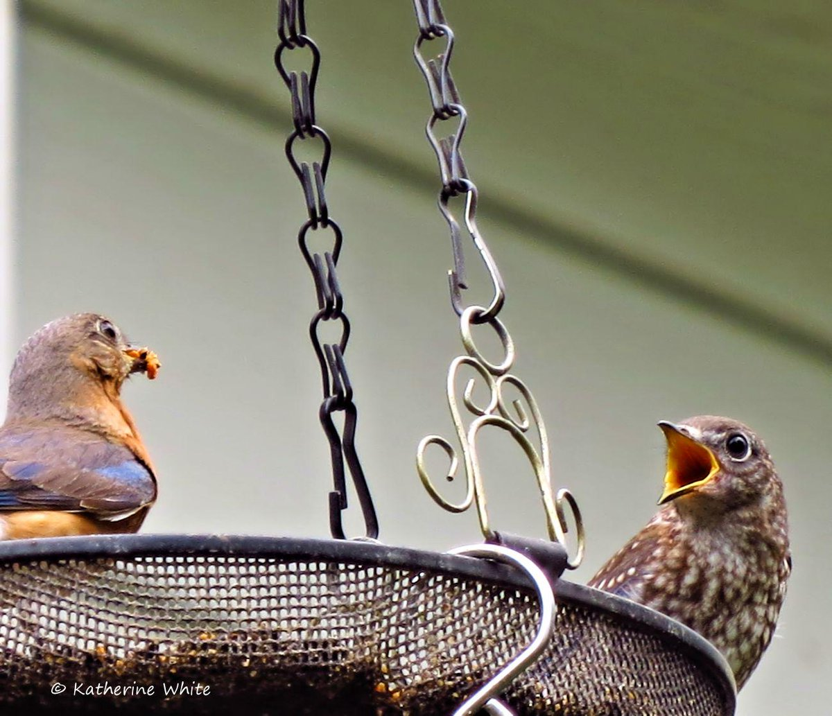 Feed me!  Little #bluebird couldn't get fed fast enough. #bird #photography http://t.co/YM2Qi5V1zB