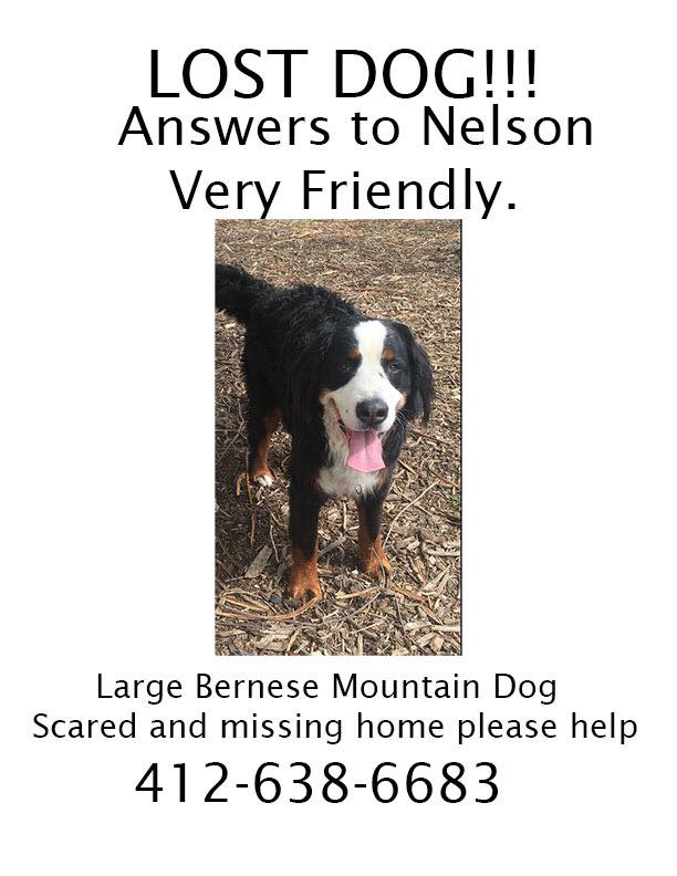 Nelson the Bernese mountain dog was lost near Mellon Park. Spread the word and call with any info! http://t.co/w34yGdrZY3