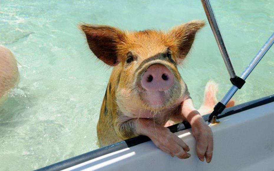 Swim with these guys in the Bahamas: