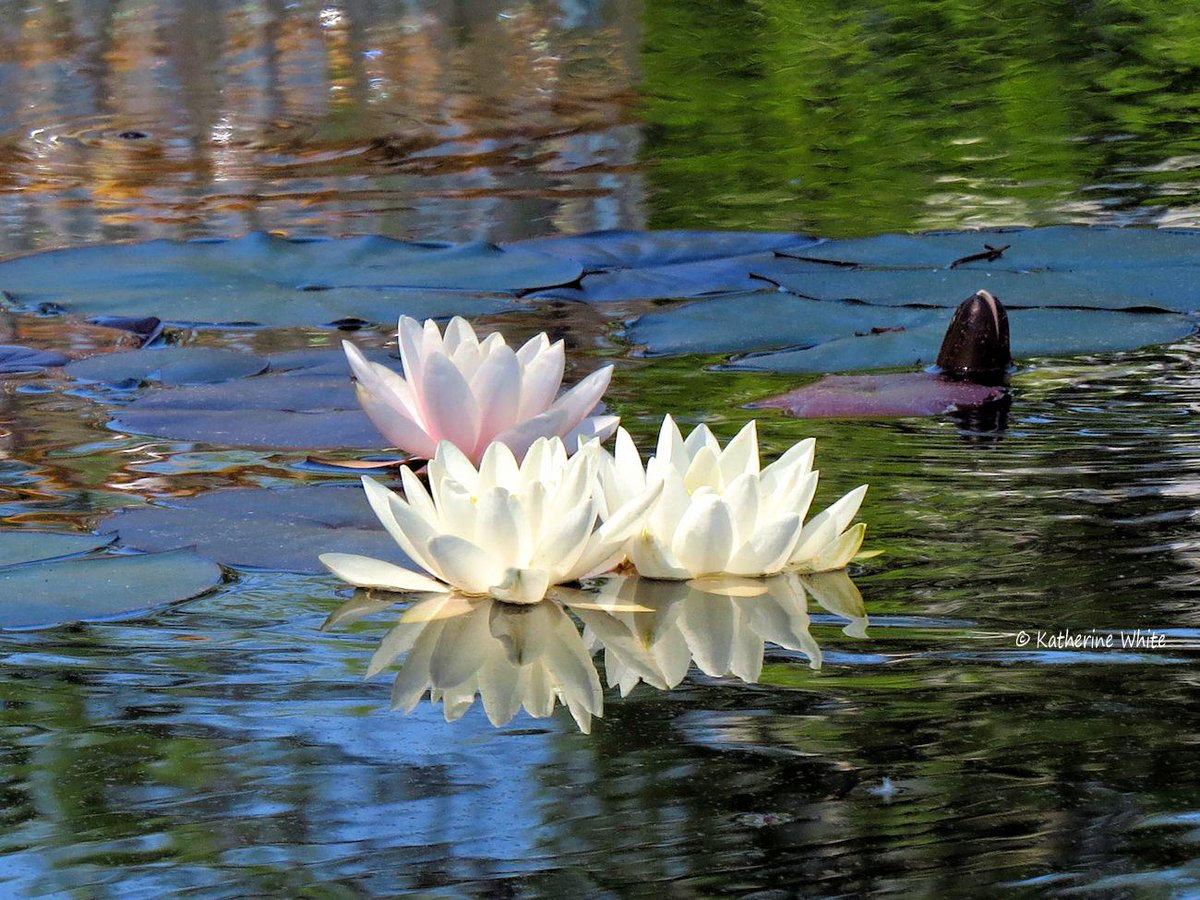 The beauty of a trio of #waterlilies.  #photography #nature http://t.co/7pwq41VkIB