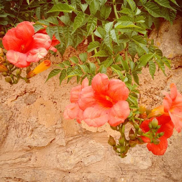 Beautiful blossoms in Santanyí #igersbalears #igersmallorca #blossom #blüte #mallorca #blumen http://t.co/Uoj42R1o4g