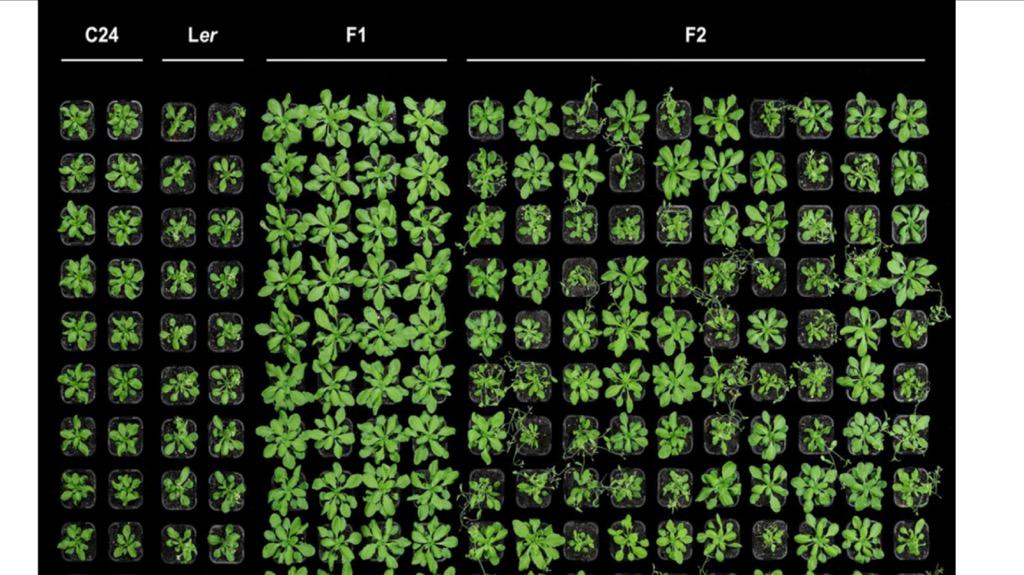 It is genetics, not Monsanto conspiracy: Reason why farmers plant F1 hybrids but do not replant F2 seeds from these! http://t.co/K1rAS1EtcC