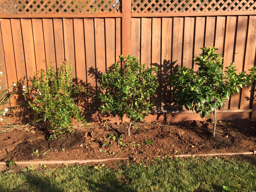 Three new amigos: pink satin pomegranate, kishu seedless mandarin ...