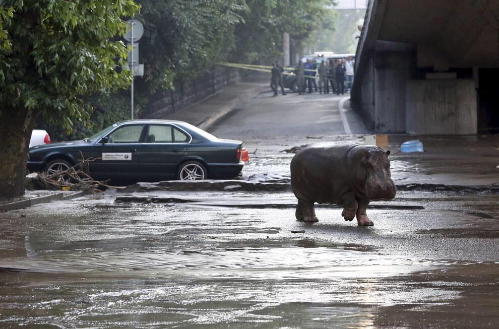 This is crazy!   Hippos, lions, alligators and bears enter the city streets after the #Tbilisi zoo gets flooded. http://t.co/6GwmAHV0UH