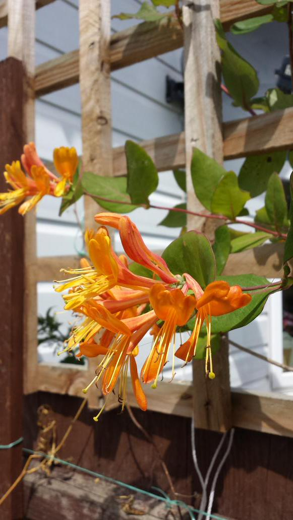Pretty honeysuckle #gardening http://t.co/QOT5qK9nDL